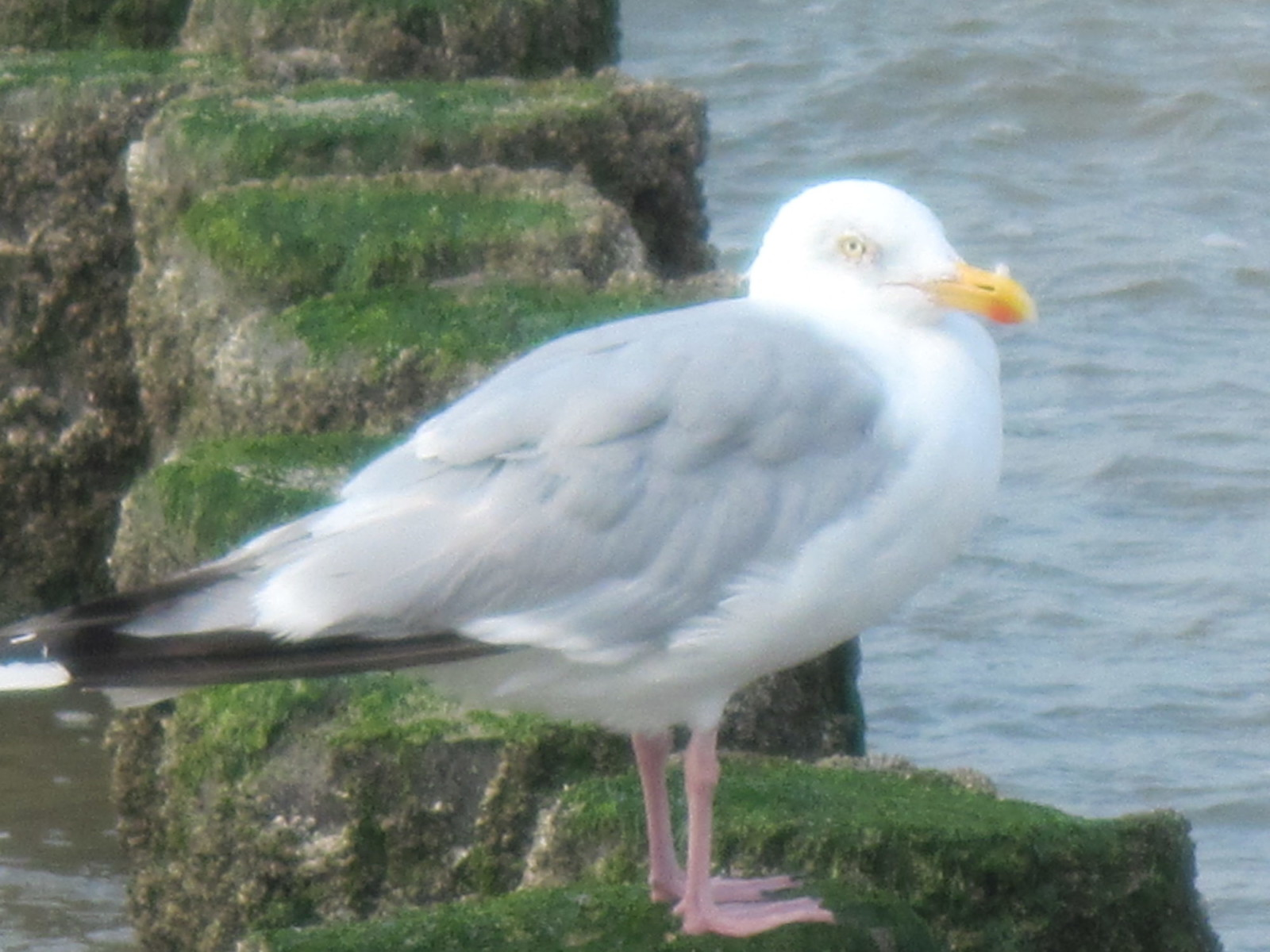 Möwe in Domburg.